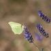 Brimstone and lavender