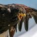 Nova the harris hawk is back by novab