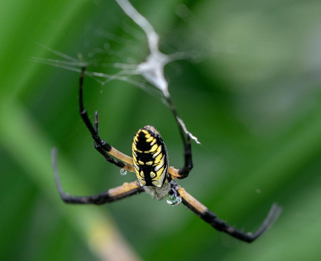 Garden Spider by cdonohoue