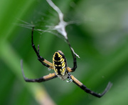 31st Jul 2018 - Garden Spider