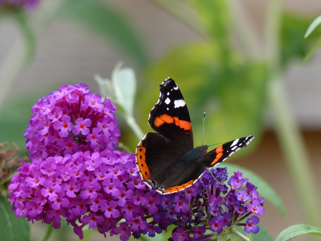 Red Admiral on Buddleia  by susiemc