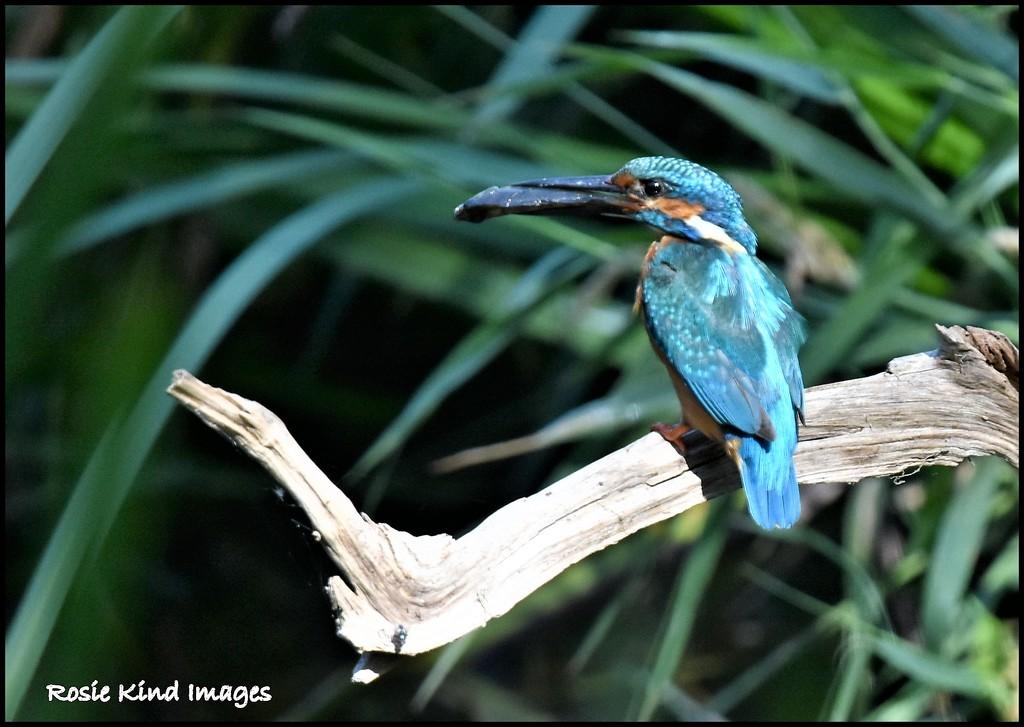 A big fish Bluey by rosiekind