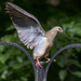 Ungainly mourning dove