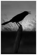 3rd Aug 2018 - The Angry crow