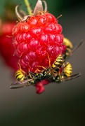 4th Aug 2018 - Wasp with Dessert?