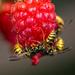 Wasp with Dessert?