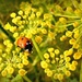 Ladybird lunching on wild dill by judithdeacon