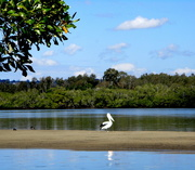 6th Aug 2018 - Pelican in the Maroochy River