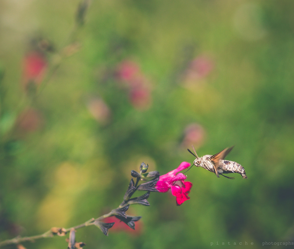 humming by pistache