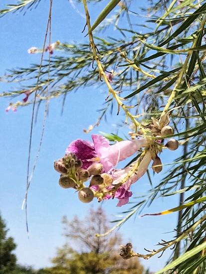 The Desert Willow by louannwarren