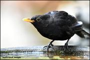 5th Aug 2018 - Mr Blackbird