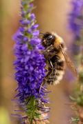 5th Aug 2018 - Bumble Bee