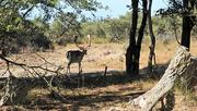 5th Aug 2018 - DSCN1455 deer in dunes