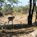 DSCN1455 deer in dunes