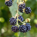 Wild Brambles by pcoulson