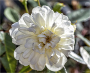 4th Aug 2018 - White Rose