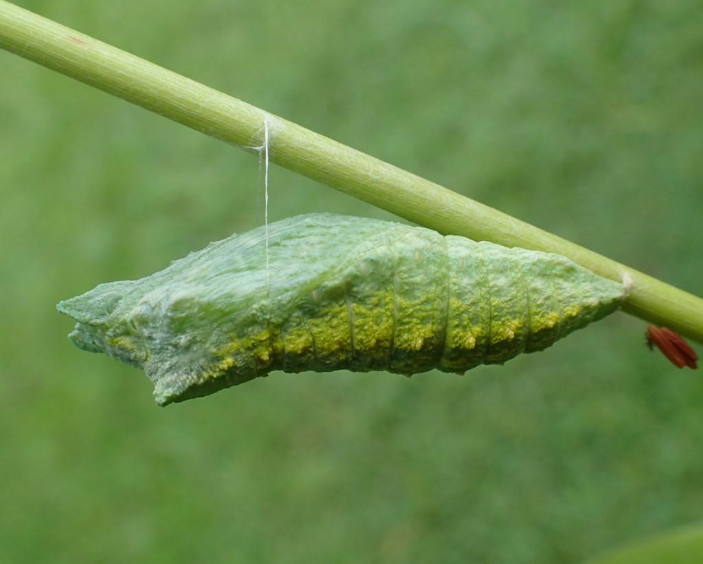 Black Swallowtail Chrysalis by cjwhite