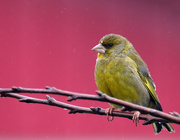 6th Aug 2018 - Greenfinch