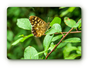 6th Aug 2018 - Speckled Wood Butterfly