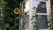 2nd Aug 2018 - Sunflowers in Jesmond