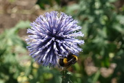 6th Aug 2018 - Busy Bee