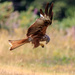 Red Kite-well caught