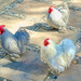 Cochin chickens by ludwigsdiana