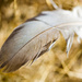 The Feather in the Grass