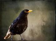8th Aug 2018 - Scruffy blackbird