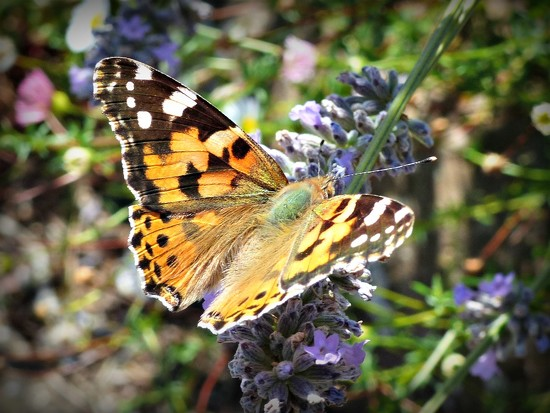 Painted lady in the lavender by judithdeacon