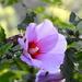 Love is like a sweet hibiscus!