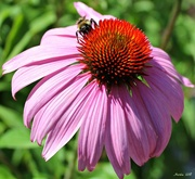 8th Aug 2018 - Coneflower and Friend