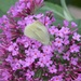 Pink Buddleia (with complimentary white butterfly)