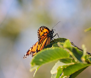 8th Aug 2018 - monarch again