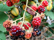 6th Aug 2018 - Berries by the Road