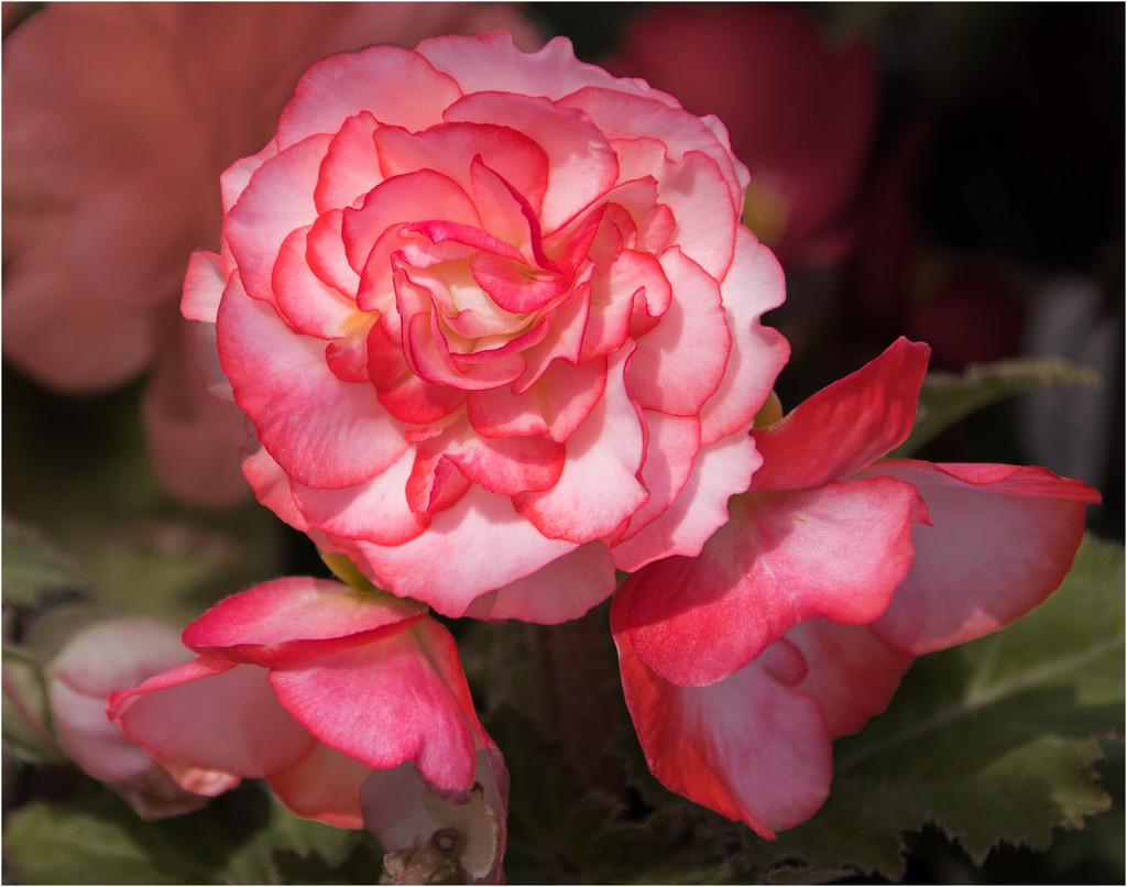 Begonia by mave