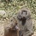 Bashful Baboons