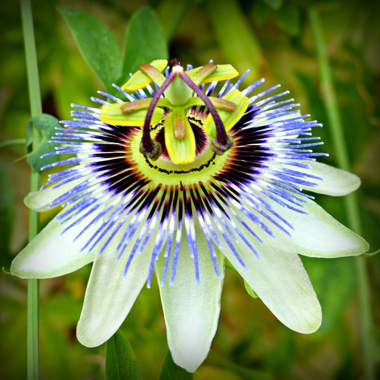 Passionflower by judithdeacon