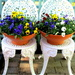 My 2 pots of pansies in the Courtyard