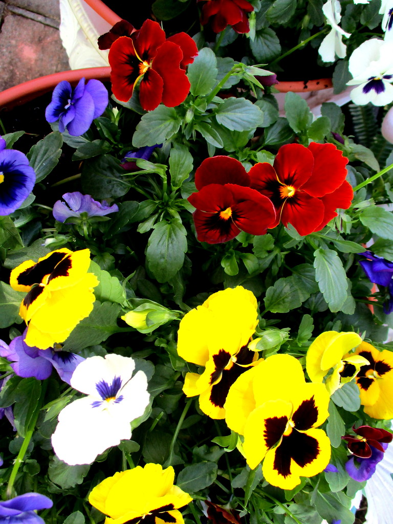 Like the colour mixture of my Pansies by 777margo