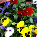 Like the colour mixture of my Pansies