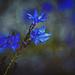 Blue Leschenaultia by annied