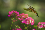10th Aug 2018 - Hummingbird in Flight