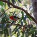 Scarlet Honeyeater by koalagardens