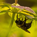 Upside Down Bee!