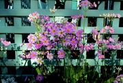 12th Aug 2018 - Primulas  in my garden