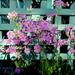 Primulas  in my garden