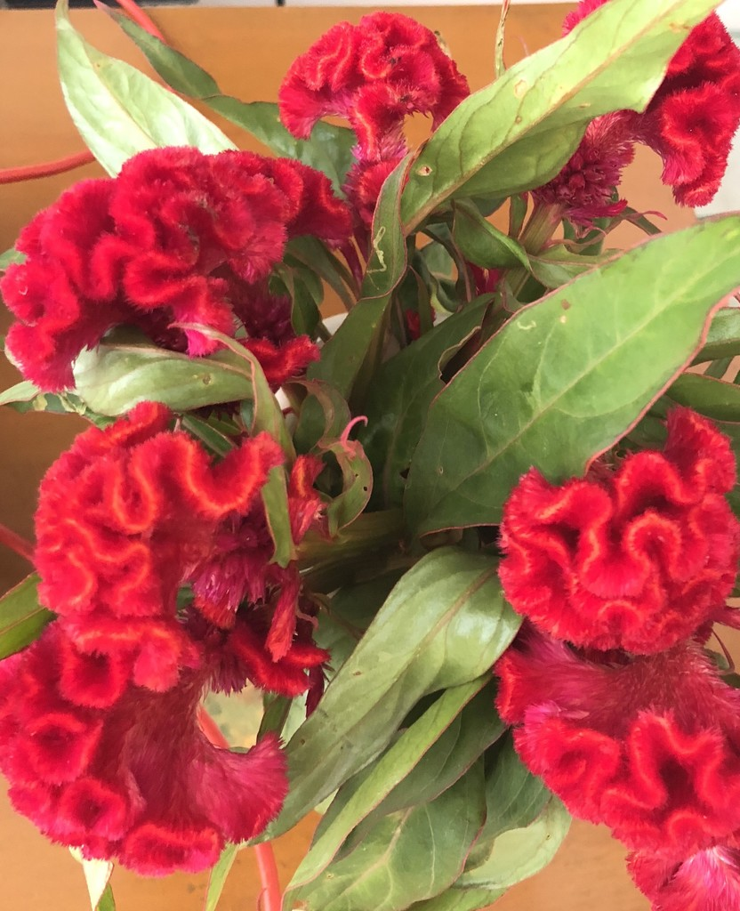 Celosia Flowers  by veengupta