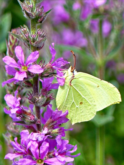 Brimstone butterfly  by judithdeacon