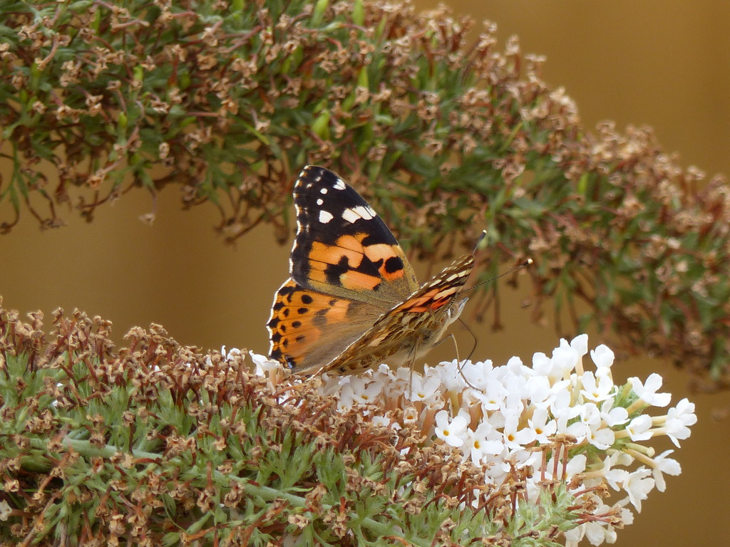 Painted Lady on White Buddleia  by susiemc